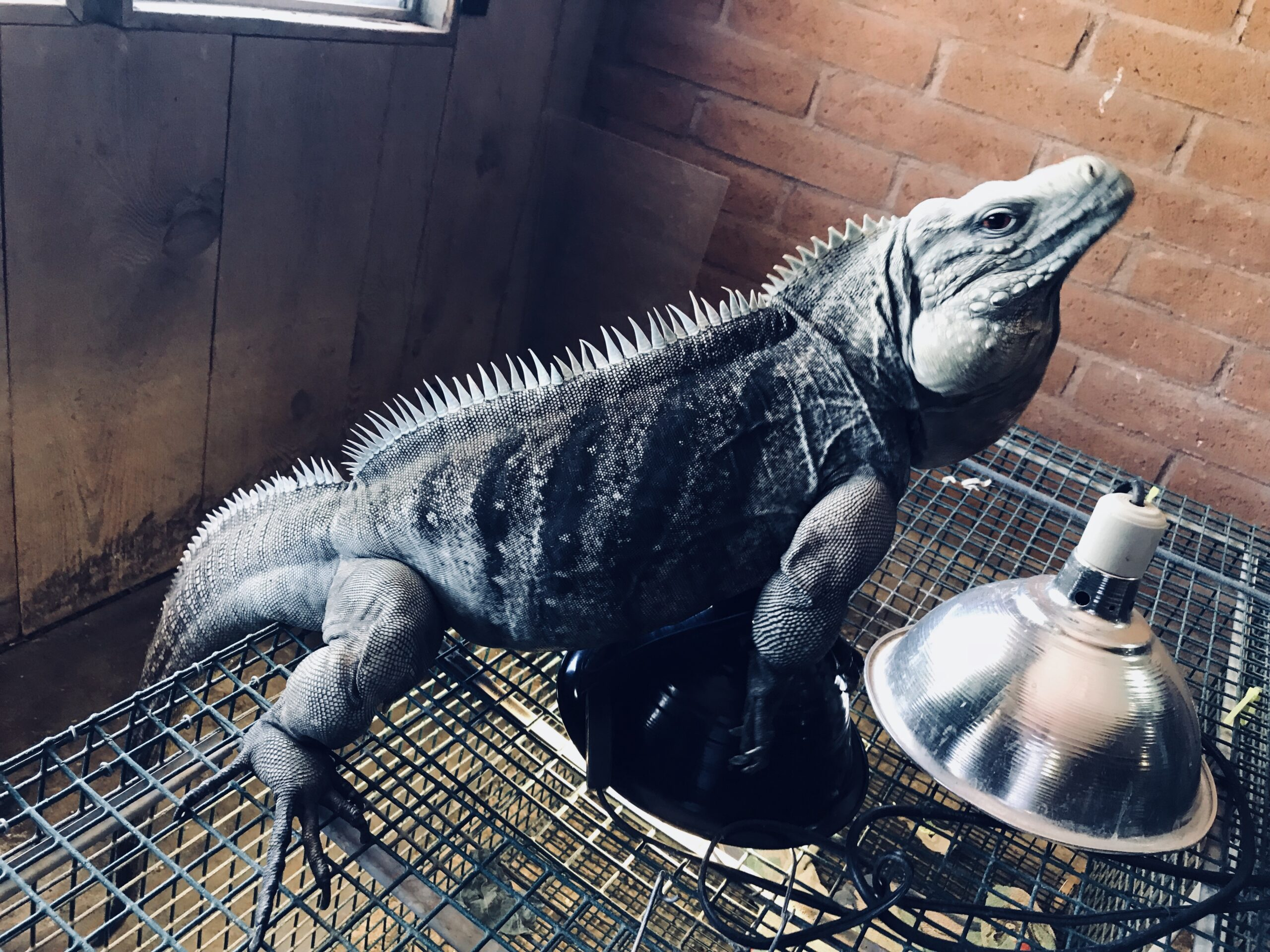 photo of a rock iguana hybrid