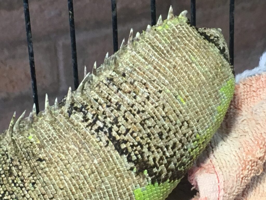 The amputated tail of a green iguana