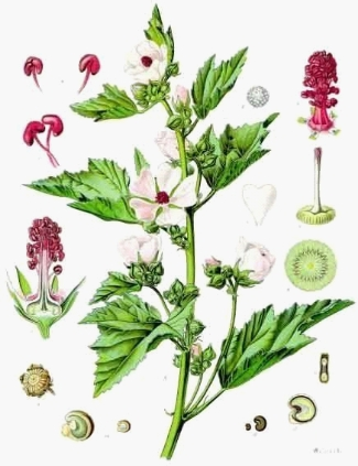 Botanical illustration of the Marsh Mallow Plant