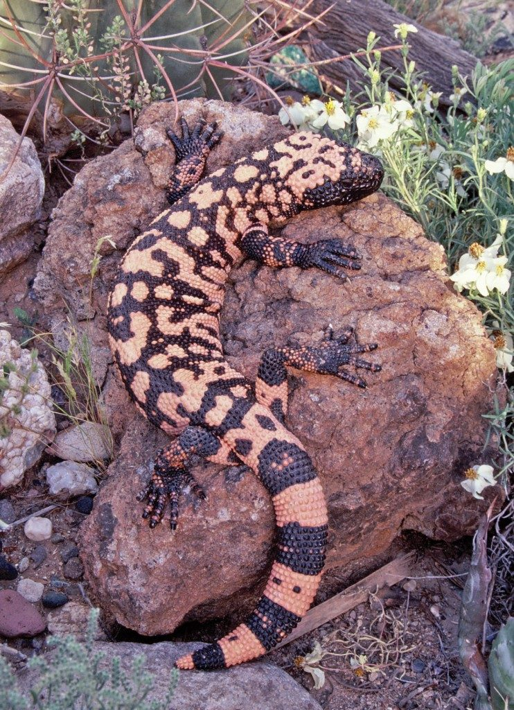 photo of a Gila monster