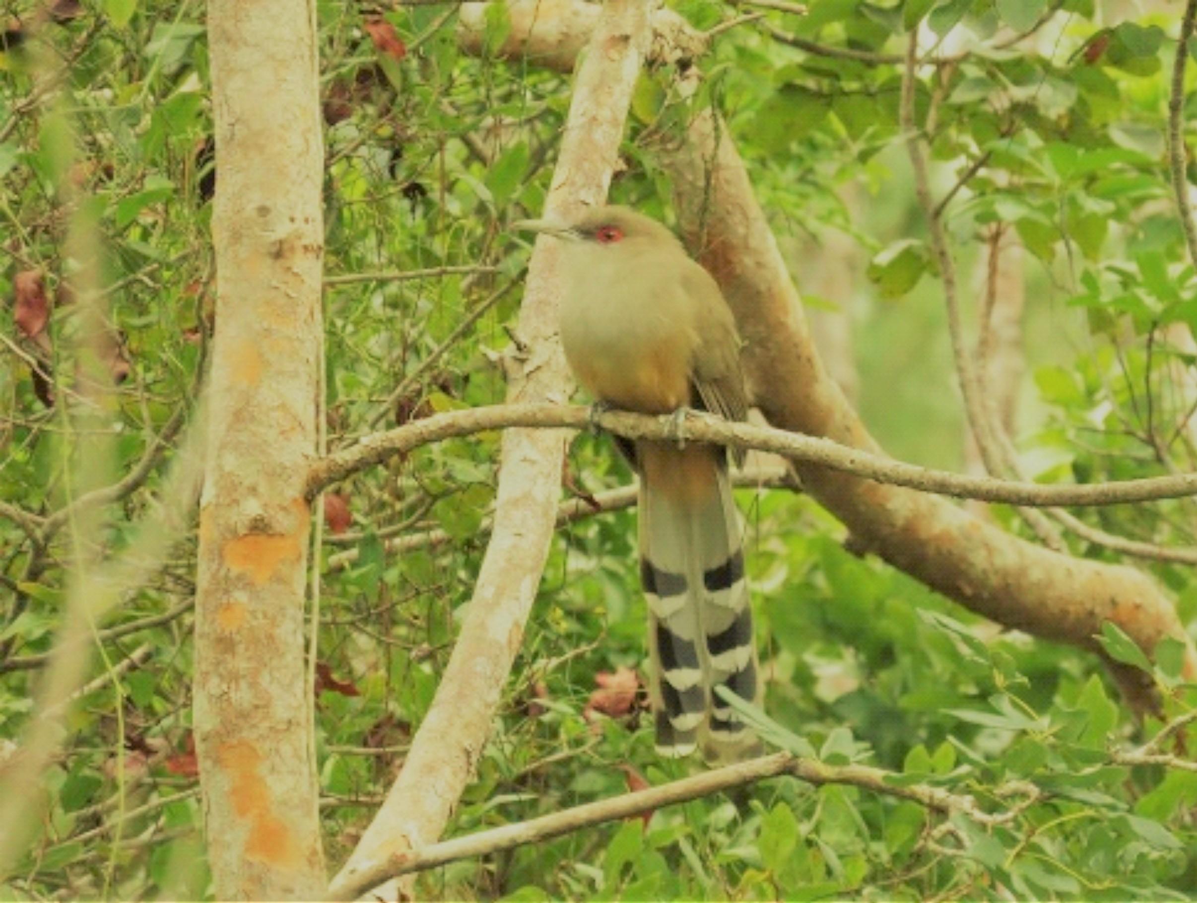 photo of great-lizard cuckoo bird