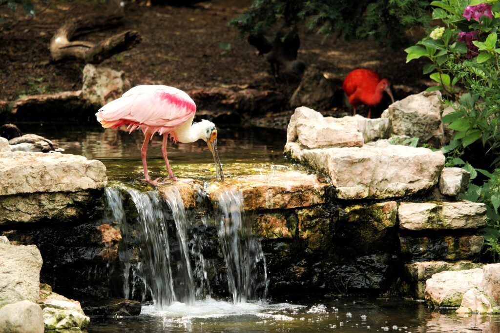 photo of  the bird Roseate Spoonbill