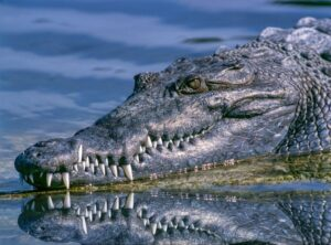 close up of alligator head coming out of water
