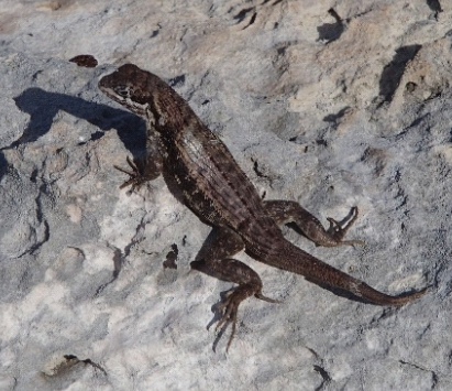 photo of curly-tail lizard Curtis