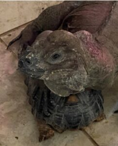 photo of an adult female rhino iguana resting on a tortoise