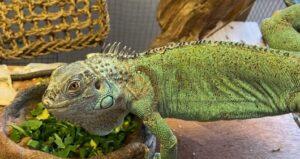 a green iguana at a food dish