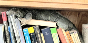 iguana resting on books on shelf