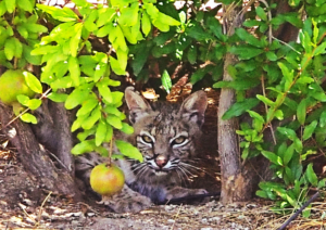 Bobcat in bush in Sonoran Desert