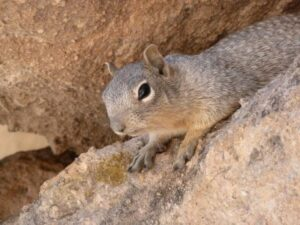 photo of ground squirrel on rock