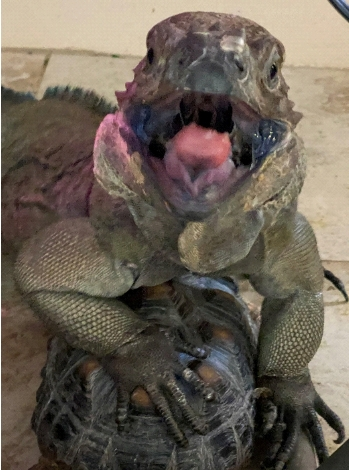 Photo of Rhino Iguana standing on a tortoise