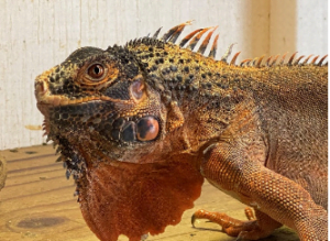 a red-colored green iguana