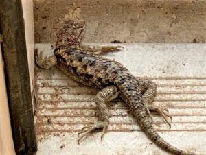 photo of desert spiny tail lizard on door stoop
