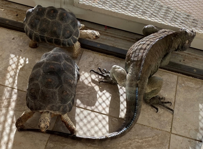 photo of tortoise nibbling on iguana's tail