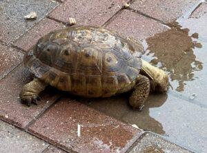 Desert Tortoise drinking rainwater