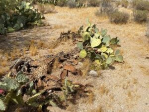 photo of dry prickly pear cactus