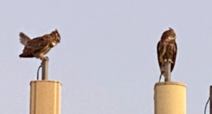 photo of two Great Horned Owl Bubo virginainus