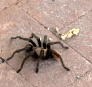 photograph of tarantula