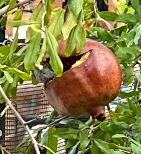 Pomegranate with bird