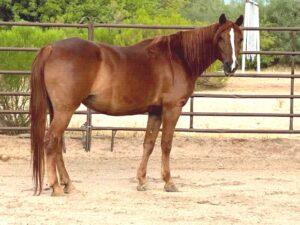 Photo of a Missouri Foxtrotter horse