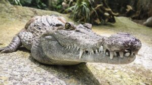 photo of crocodile