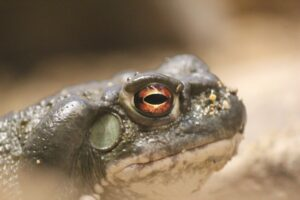 photo of the head of a Sonoran Desert toad