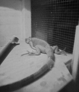 photo of sleeping iguana