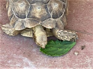 photo of a sulcata tortoise eating a pad from prickly pear cactus