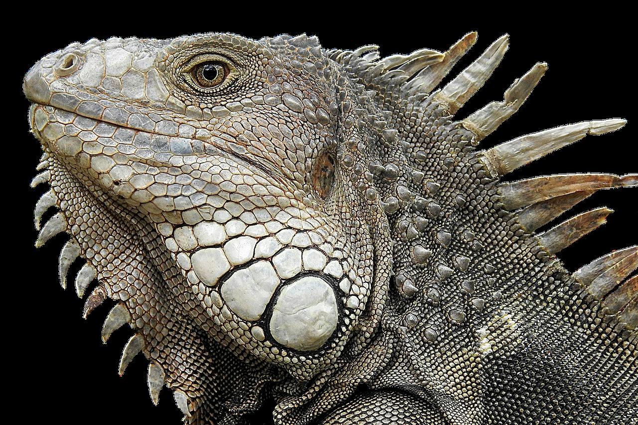 photo of head of an iguana