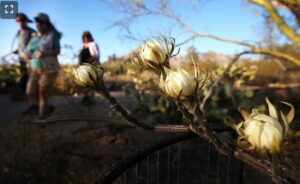 Photo of night-blooming cereus in Tucson AZ