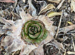 photo of a chewed down aloe vera plant
