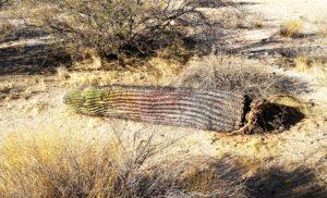 photo of dying saguaro plant