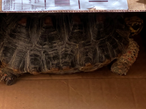 a redfoot tortoise
